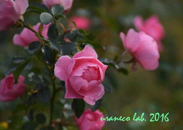 11月22日薔薇ゾンマービント2