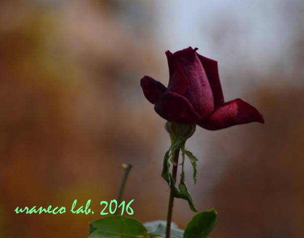 11月22日薔薇パパメイアン