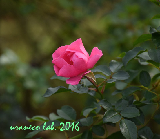 11月22日薔薇ゾンマービント