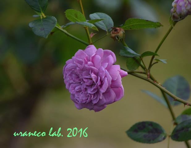 11月22日薔薇ブルーボーイ