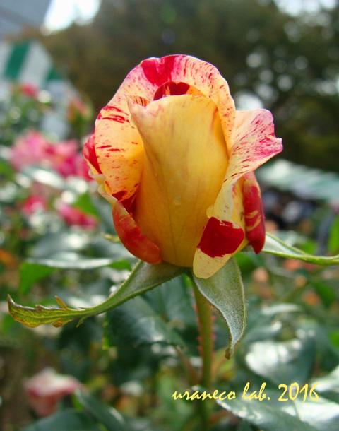 10月25日秋薔薇3