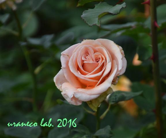 11月22日薔薇クリームデライト