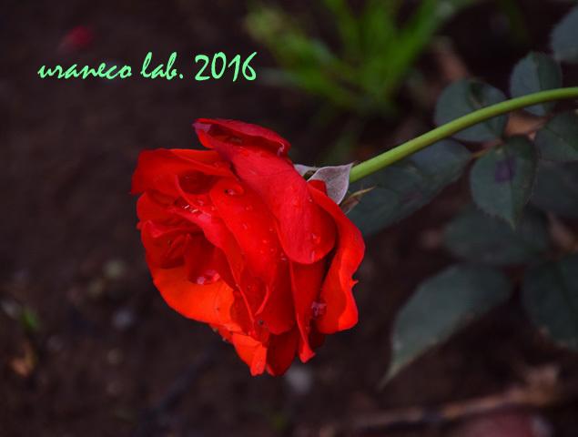 11月22日薔薇オリンピックファイア3