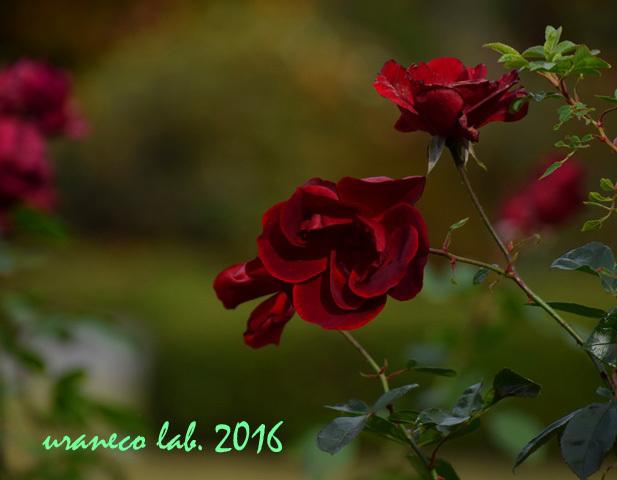 11月22日薔薇アンダルシアン