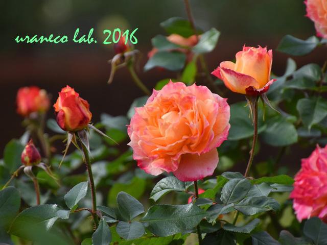 11月22日薔薇ピオニー