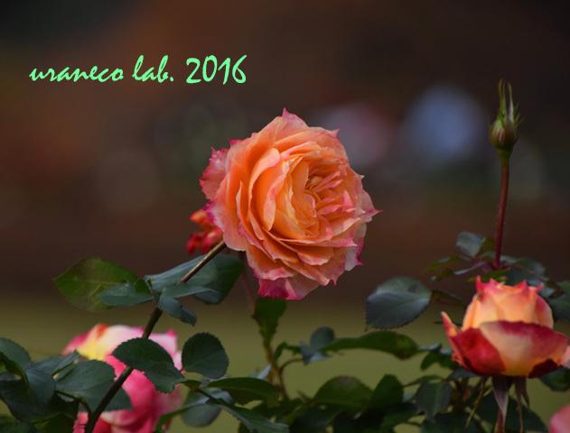11月22日薔薇ピオニー6