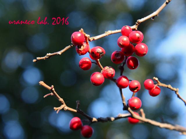 12月2日紅い実