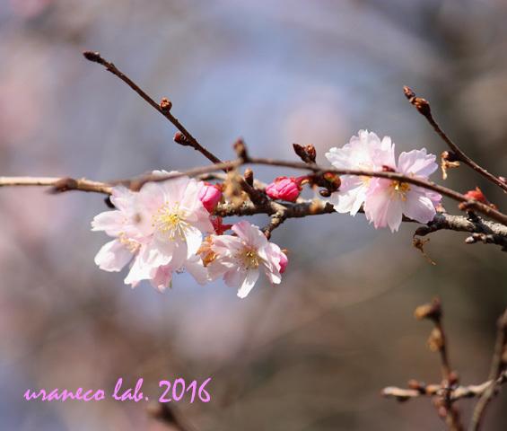12月2日冬の桜
