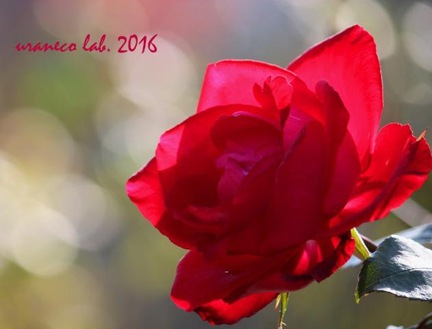 12月2日冬薔薇4