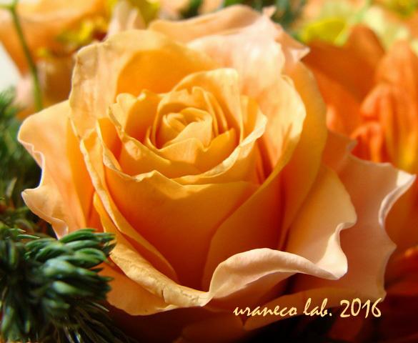 12月2日冬薔薇3