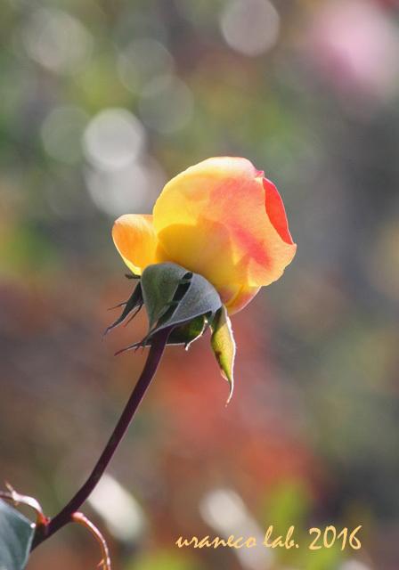 12月2日冬薔薇6