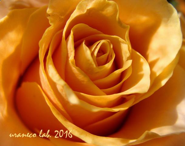12月2日冬薔薇2