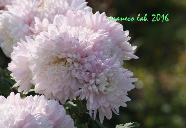 12月2日もふもふ桃色菊