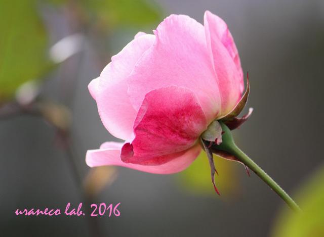 12月2日冬薔薇5