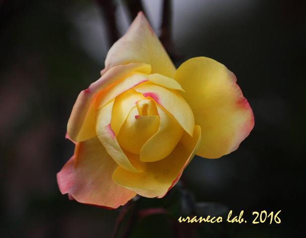 12月9日冬薔薇7