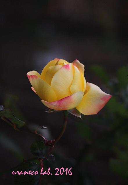 12月9日冬薔薇6
