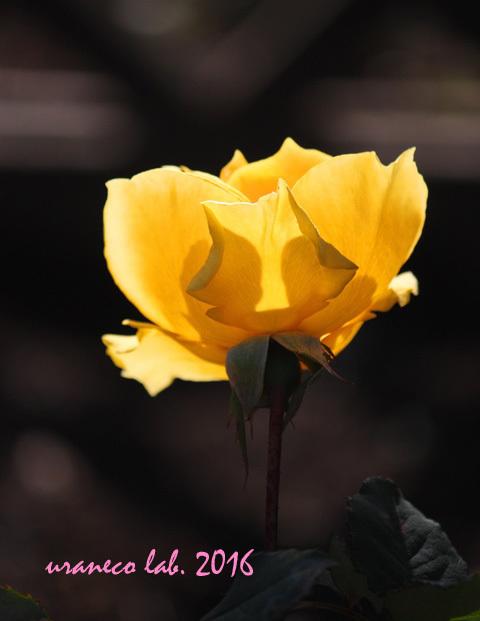 12月9日冬薔薇5