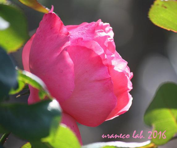 12月9日冬薔薇3