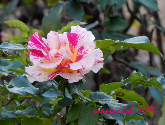 12月19日冬薔薇