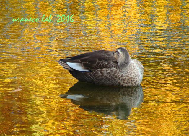 12月20日黄金色の池2