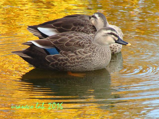 12月20日黄金色の池