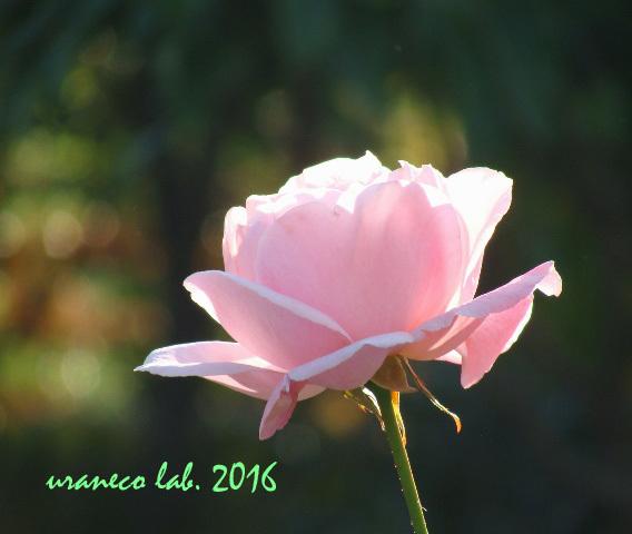 12月20日冬薔薇