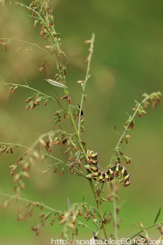ハイイロセダカモクメ幼虫