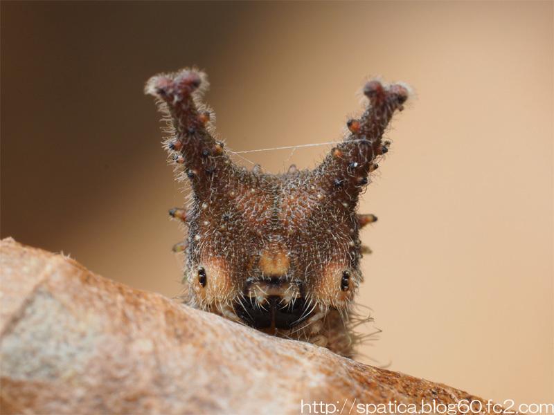 オオムラサキ越冬幼虫