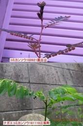 089コミカンソウ・ナガエコミカンソウb2