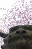 コマさんと桜