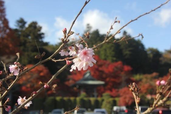寒桜と宝蔵寺