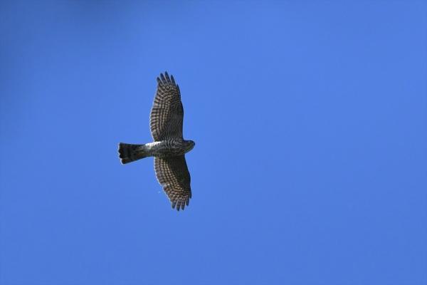 サシバ幼鳥20161006