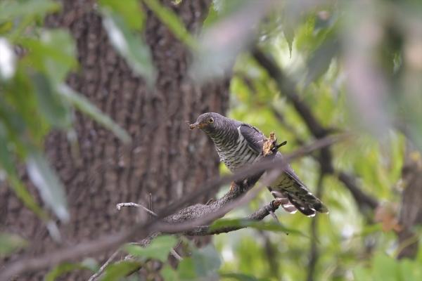 カッコウ幼鳥20161031-2