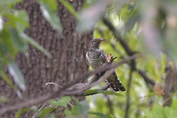 カッコウ幼鳥20161031-3