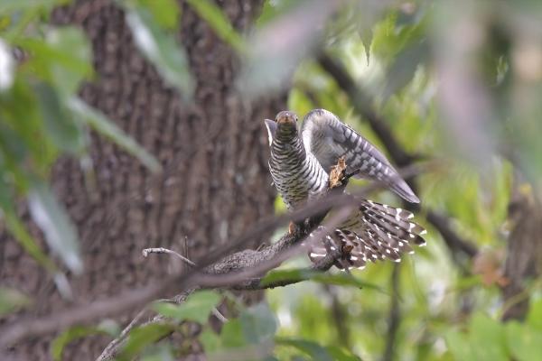 カッコウ幼鳥20161031-4