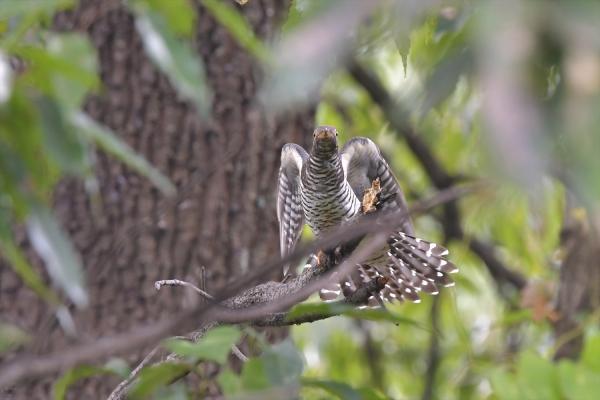 カッコウ幼鳥200161031-5