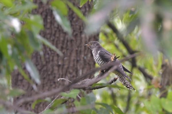 カッコウ幼鳥20161031-6