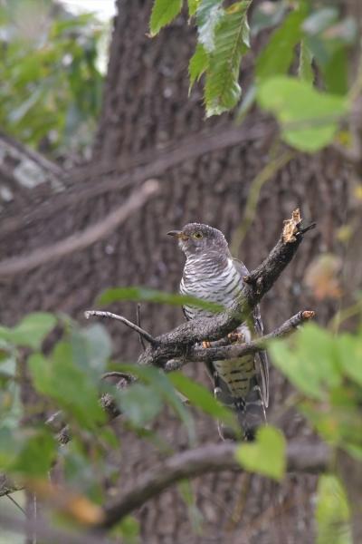 カッコウ幼鳥20161031-7