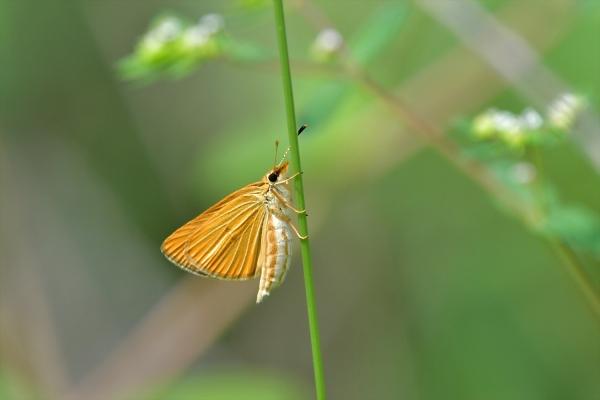 ギンイチモンジセセリ♀20160819