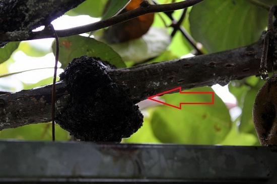 キウイの害虫コウモリ蛾_2166 (2)