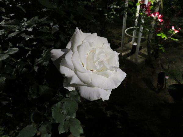 暗闇に浮かぶバラの花々