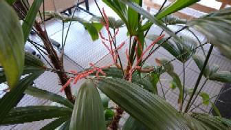 観音竹(花)