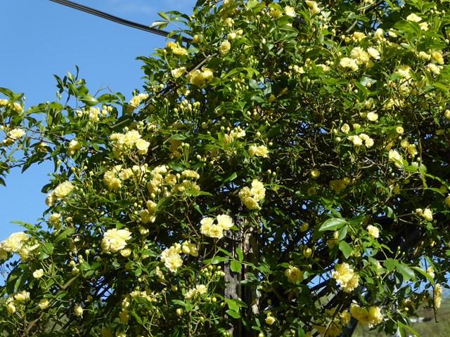 咲きだしたモッコウバラ