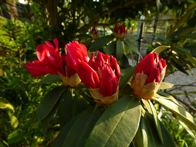 西洋シャクナゲ 間もなく開花