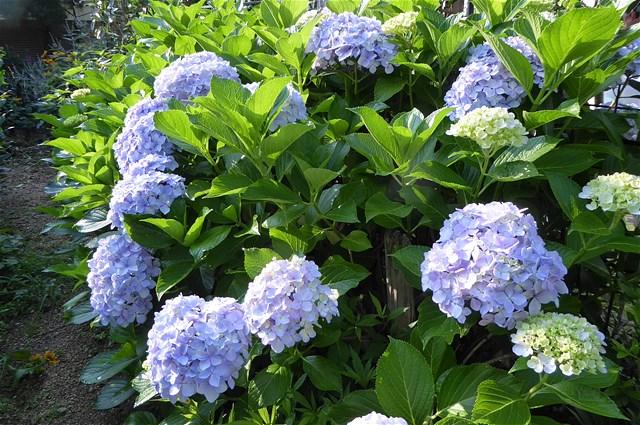 昔ながらの紫陽花