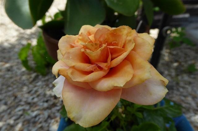 バラの花 2回目の開花