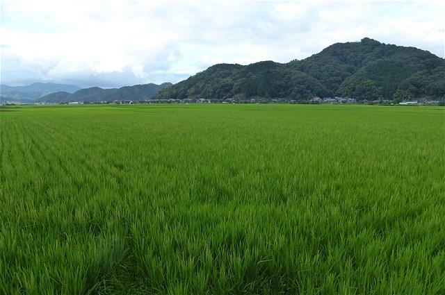 水田 青々とした風景は気持ちがおおらかになります。