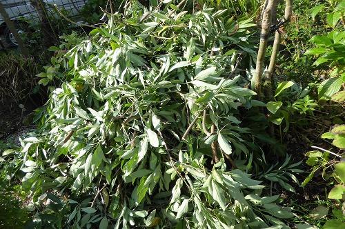 常緑ヤマボウシの切った枝