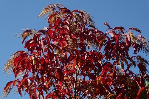 スズランの木