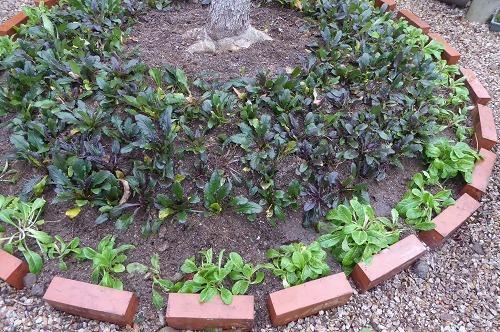 プリムラを植えて完了です。